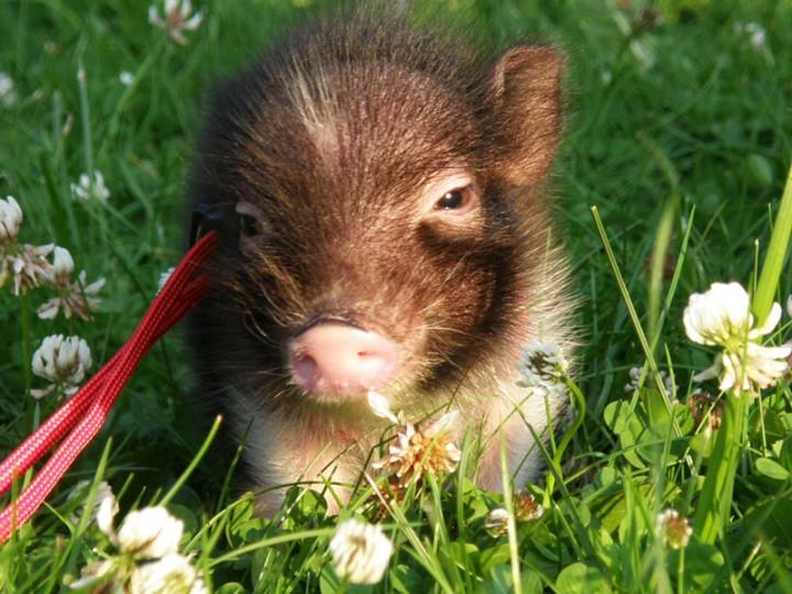 Впервые представленная в конце 1980-х годов небольшая вьетнамская свинья не была предназначена в качестве домашнего животного, но в качестве подопечного зоопарков.