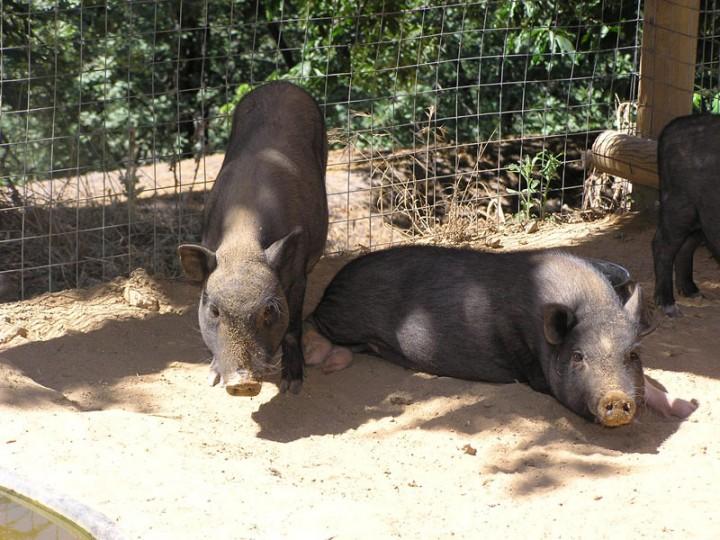 Свинья Юкатан  может быть разных размеров.